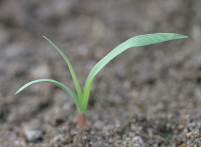 Field sandbur